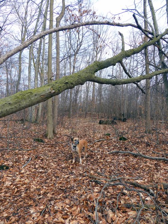 Baxter under a fallen tree