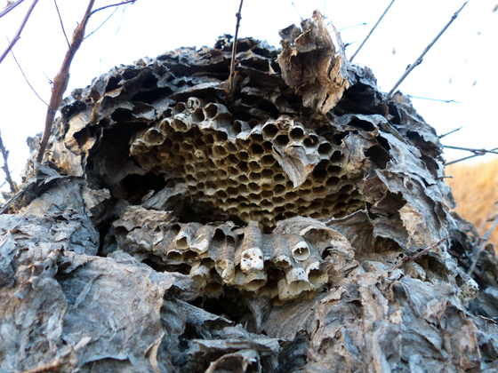 Giant wasp nest on the ground