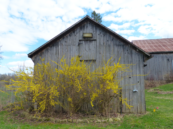 Blooming forsythia bushes