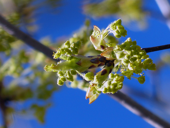 Buds on a maple tree