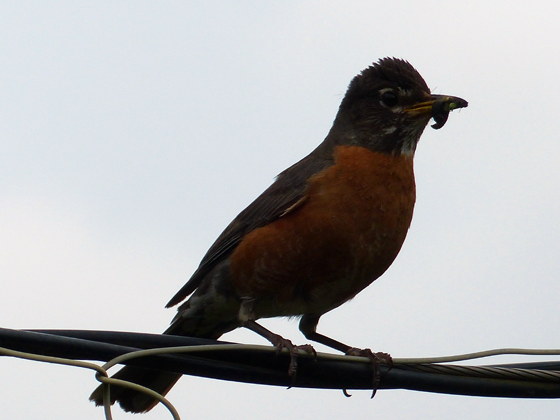 Robin with a worm in its mouth