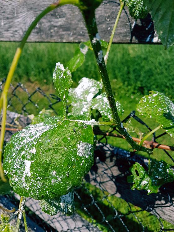 Diatomaceous Earth on grape leaves