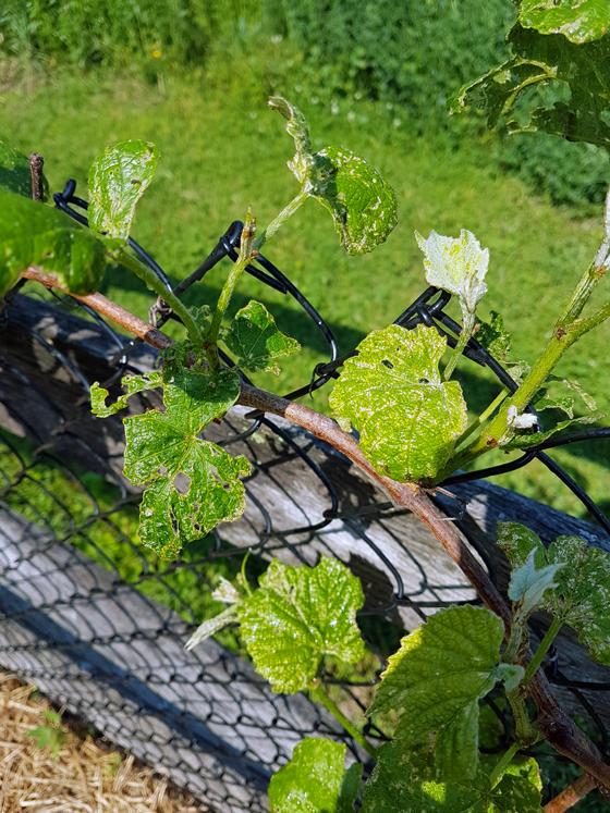 Grape leaves eaten by bugs