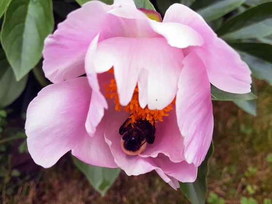 Bumble bee in a pink peony