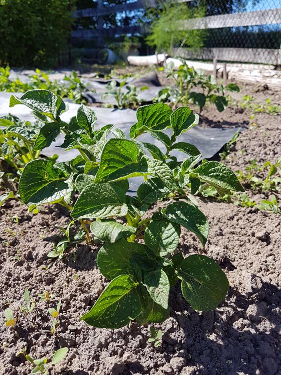 Potato plants