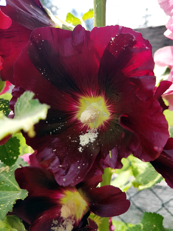 Dark red hollyhock blooms
