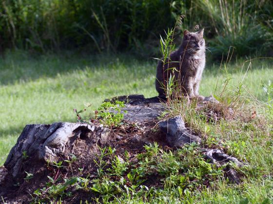 Barn cat on a stump
