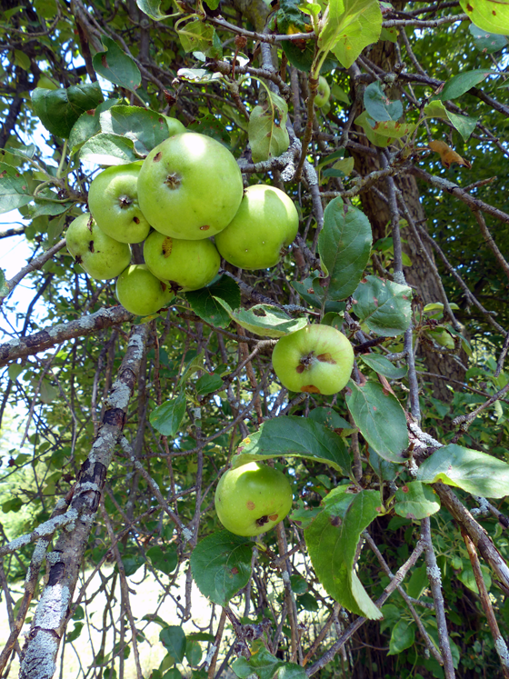 Little green apples on our old apple tree