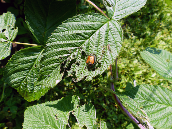Japanese beetles on the raspberry bushes