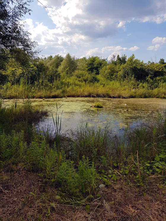 Pond in the summer