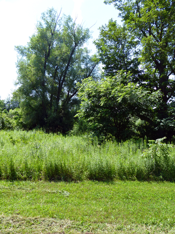 Overgrown brush on the shore of the pond