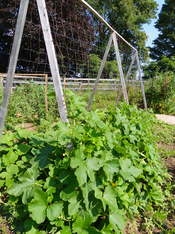 Squash growing up an A frame trellis