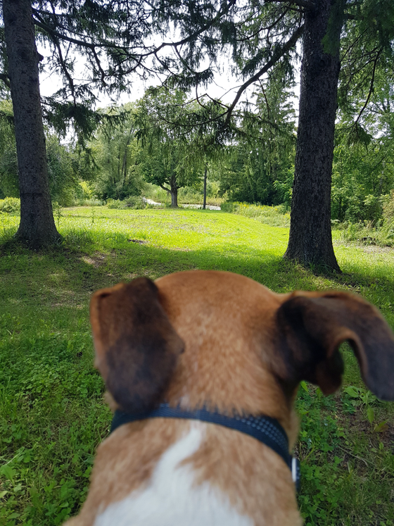 Baxter looking down through the meadow to the pond