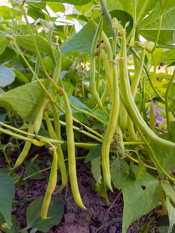 Yellow bush beans