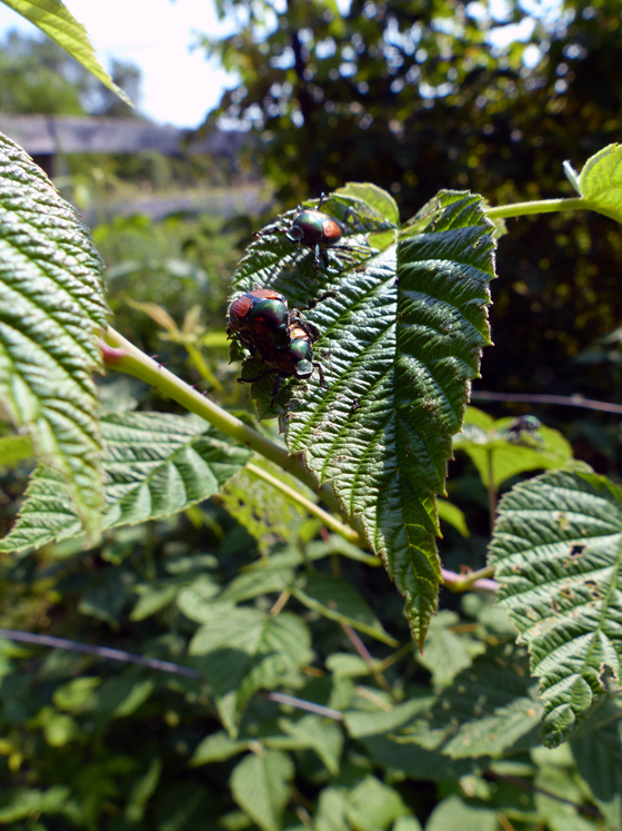 Japanese beetles on the raspberries