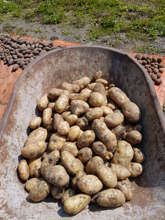 A wheelbarrow full of Kennebec potatoes