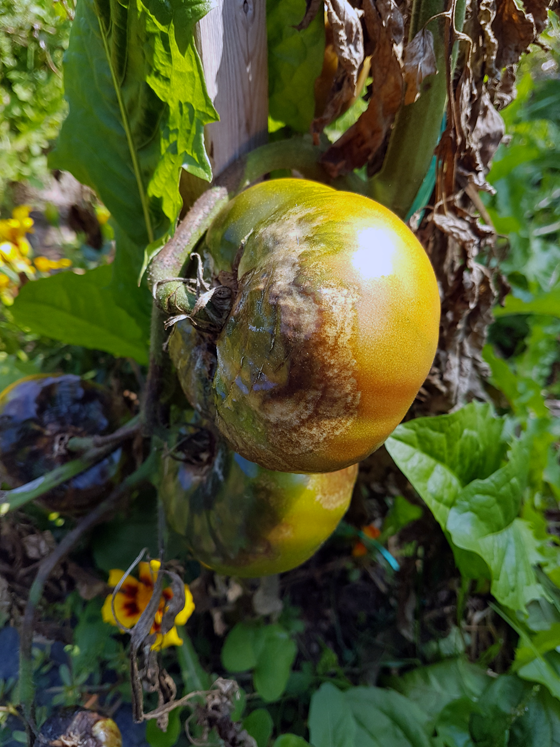 Tomatoes afflicted by blight