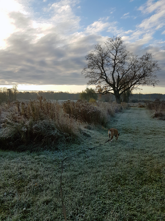 Baxter walking on a frosty morning
