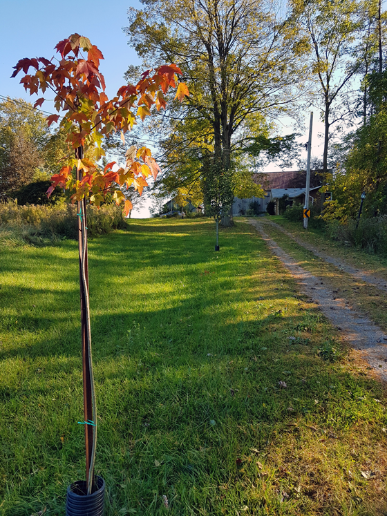 Maple sapling alongside the driveway