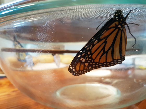 Monarch butterfly in a glass bowl