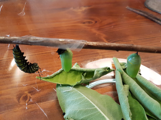Monarch caterpillar about to change into a chrysalis