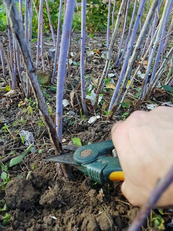 How to prune raspberries