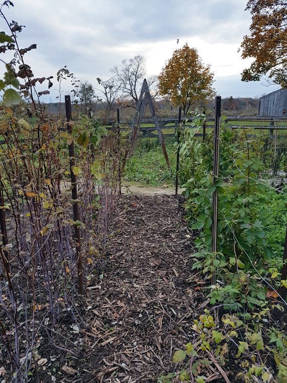 Looking across the garden from the raspberry row to the squash trellis