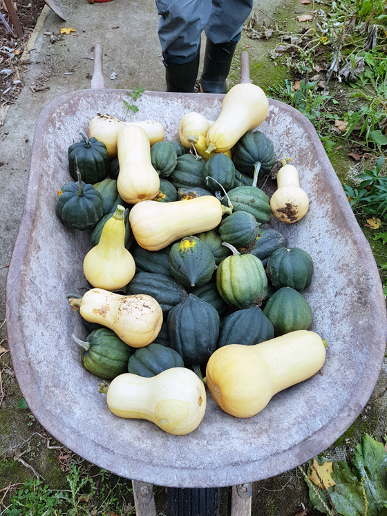 Wheelbarrow full of butternut and acorn squash