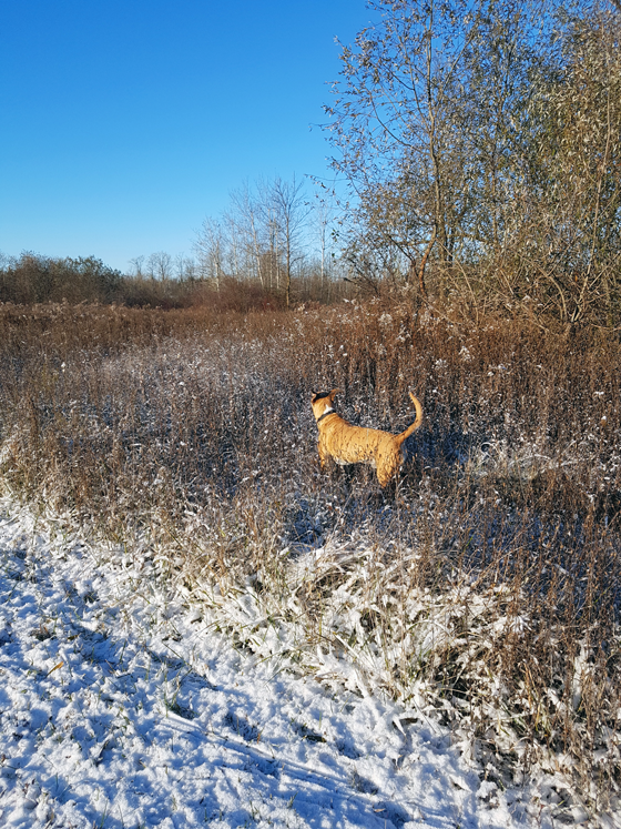 Baxter surveying the fields after the first snowfall