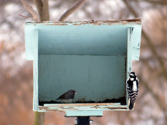 Woodpecker and junco at the birdfeeder