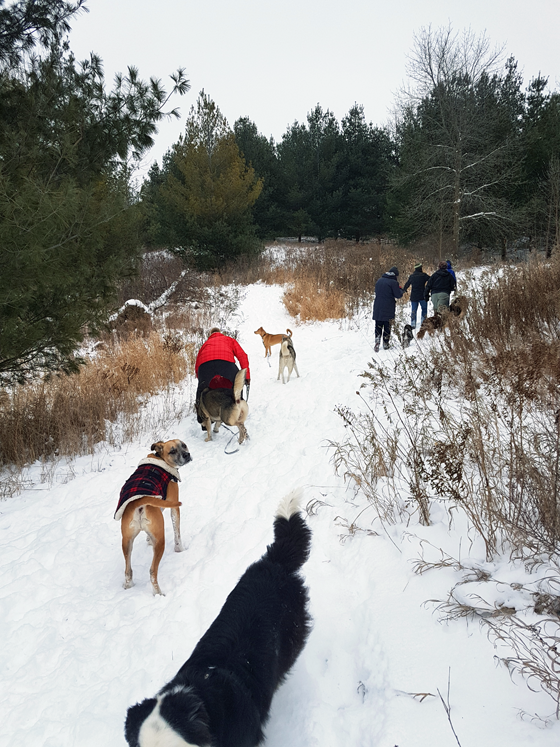 Dogs hiking in the snow
