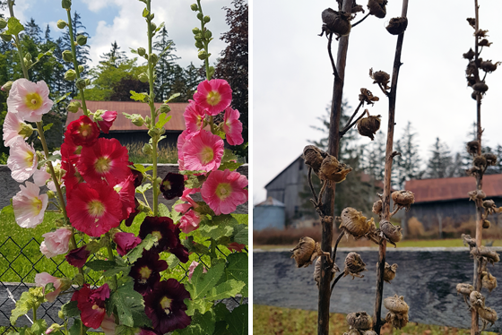 Hollyhocks in July and December