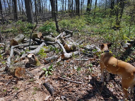 Firewood blocking the trail