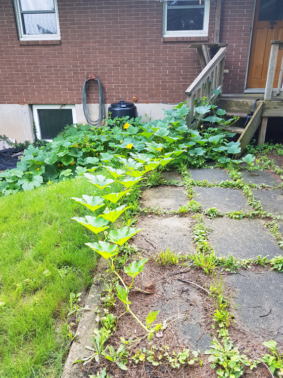Squash growing around the composter