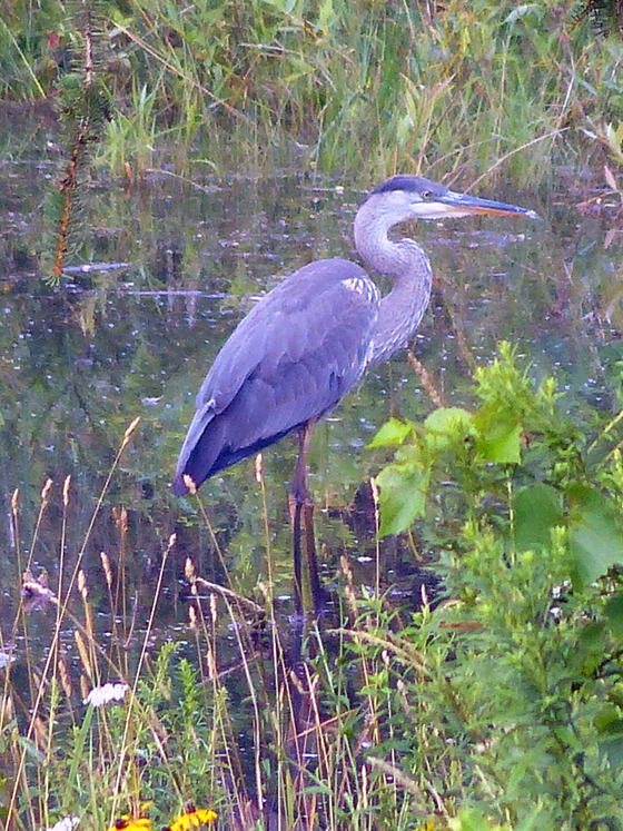 Heron wading in the pond