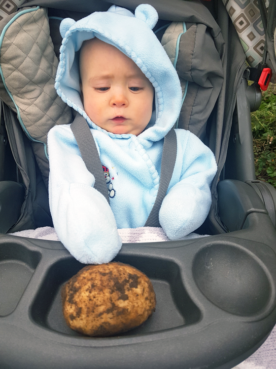 Baby admiring a freshly harvested potato