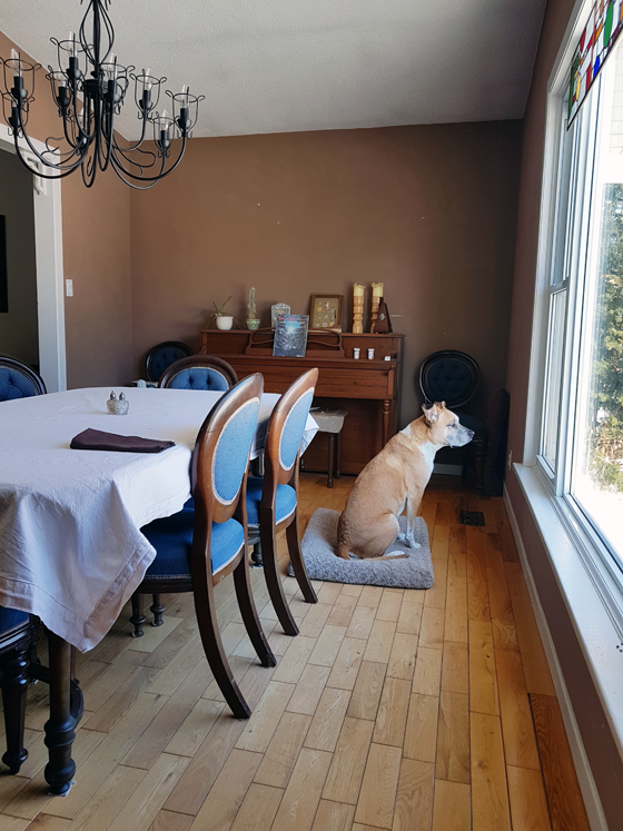 Baxter sitting in the dining room before it's painted