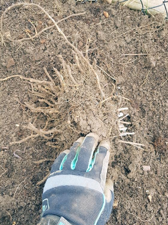 Asparagus crown root