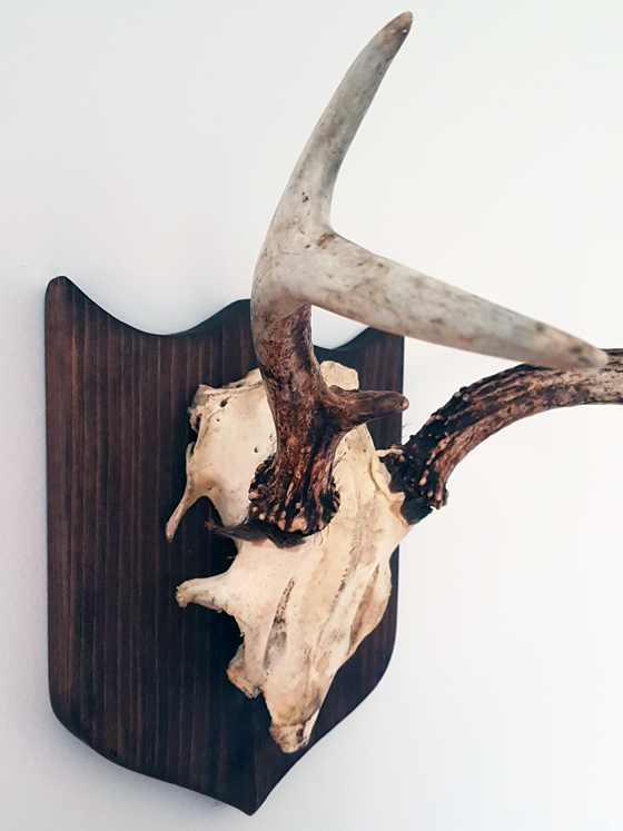 Mounted antlers unvarnished and uncovered skull