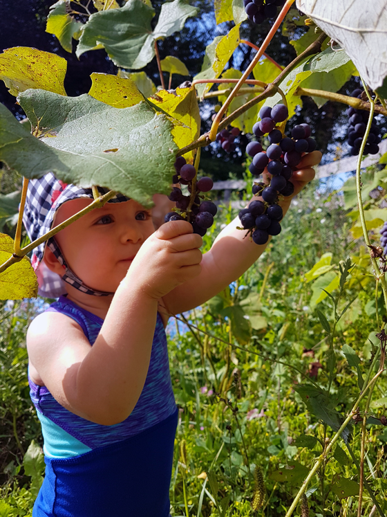Ellie picking grapes