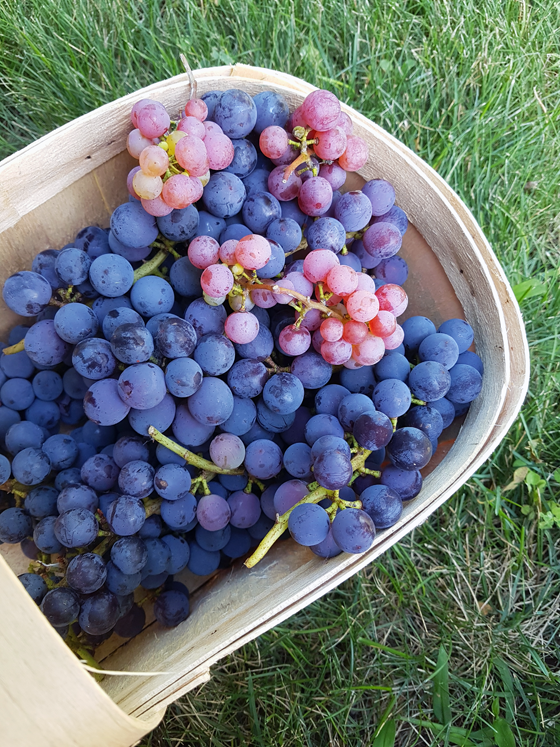 Basket of sovereign coronation blue grapes