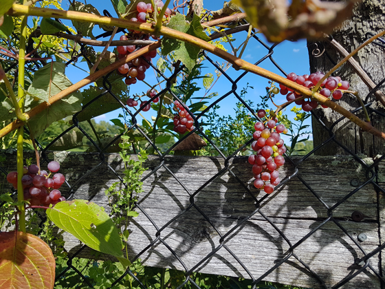Bunches of red somerset grapes on the vine