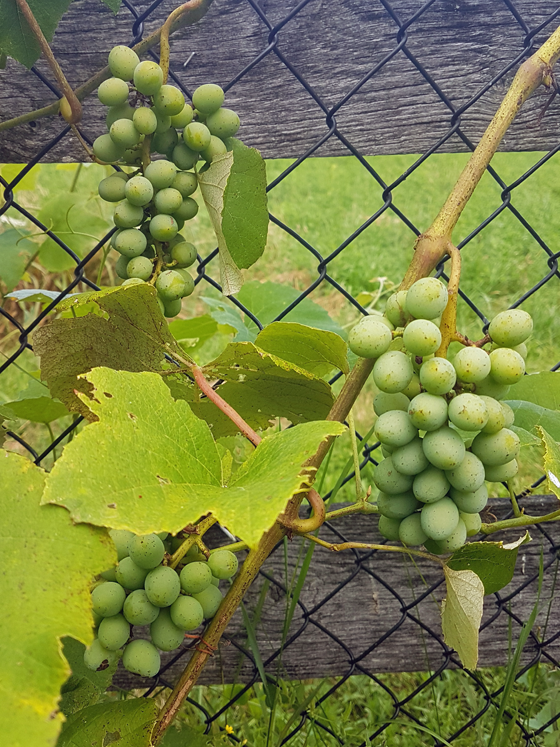 Bunches of unripe green grapes
