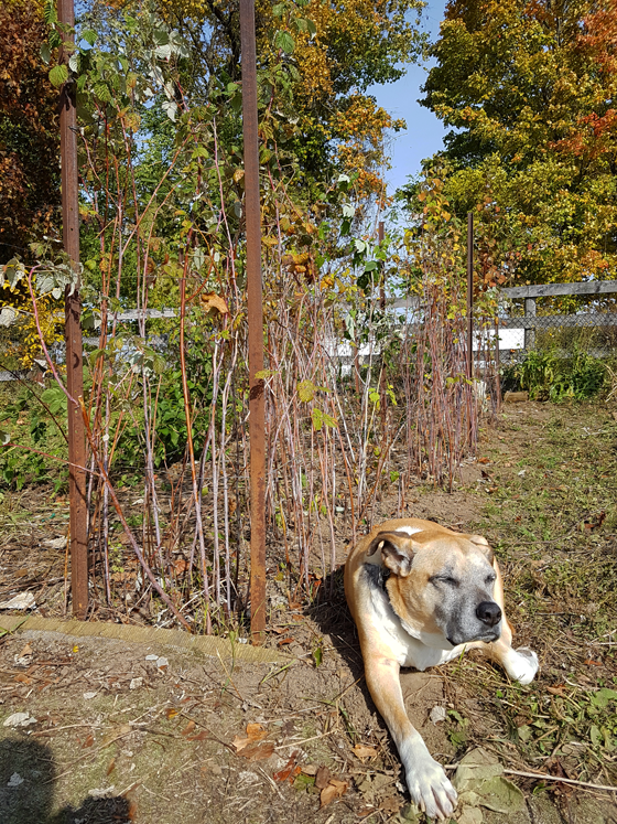 Baxter laying beside the pruned row of raspberries