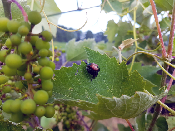 Japanese beetles on grape vines