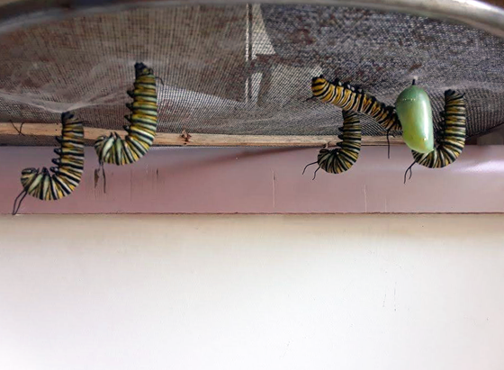 Monarch caterpillars hanging upside down