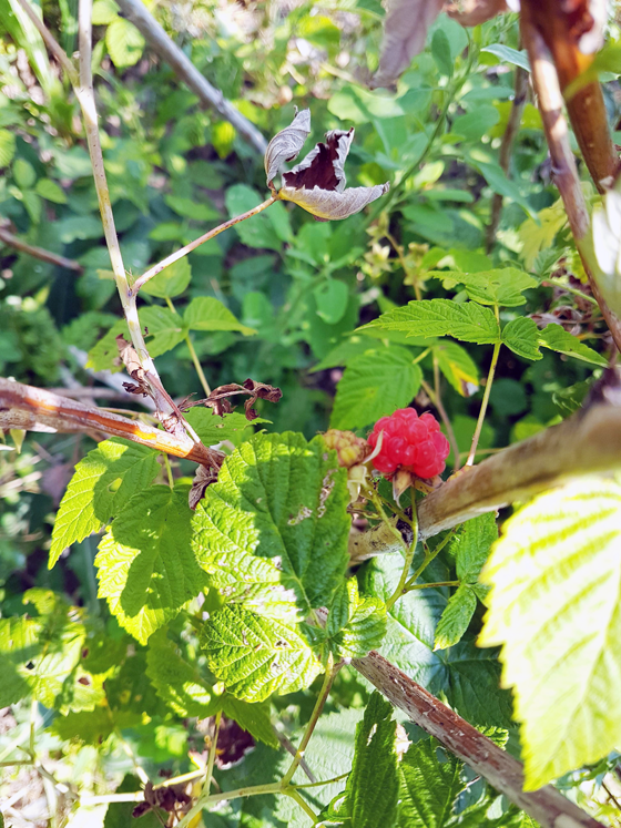 First ripe raspberry