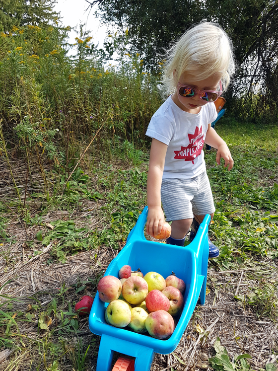 Toddler putting apples in a toy wheelbarrow