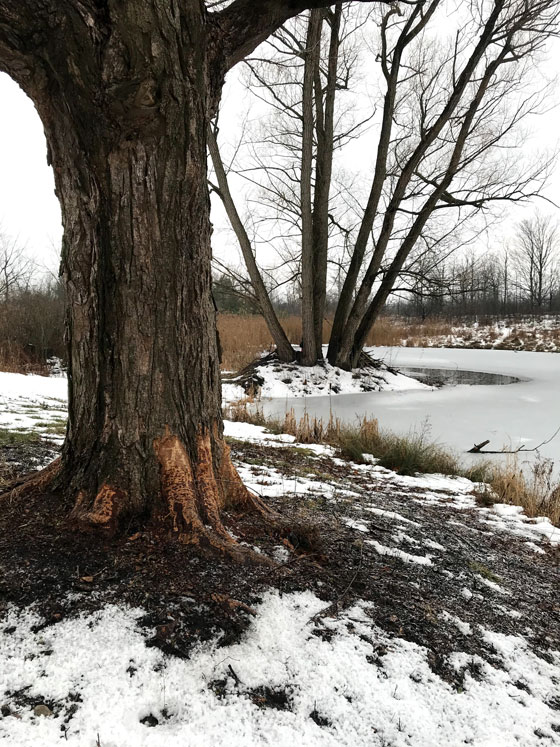 Beaver damage around the base of a large tree