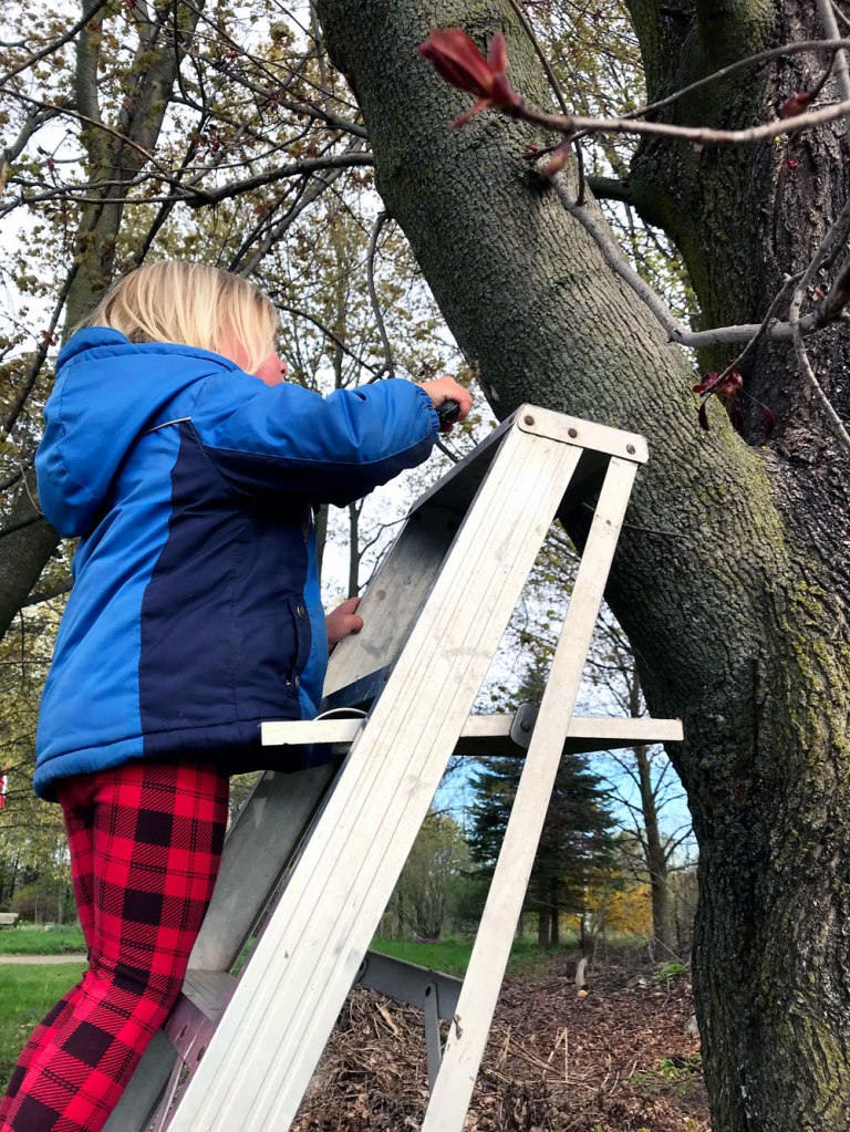Child standing on a ladder scraping gypsy moth eggs off a tree